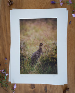 Glorious Grouse - Photographic Print by Rachel Foster