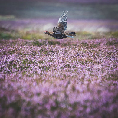 'Above the Heather' - Grouse Photographic Print by Rachel Foster