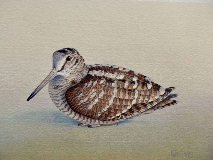Woodcock Print by Owen Williams