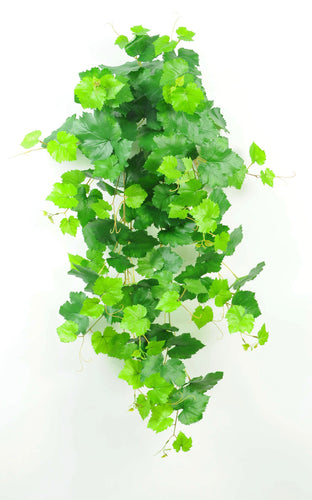 Grape Ivy Bush