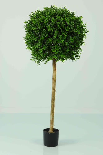 Boxwood 1 Ball 4ft