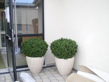 Load image into Gallery viewer, Boxwood Ball in Pot 75cm