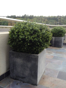 Boxwood Ball in Pot 75cm