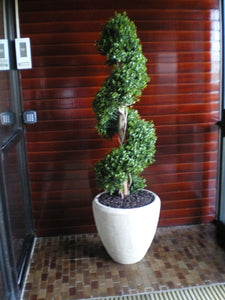 Boxwood Spiral 4ft