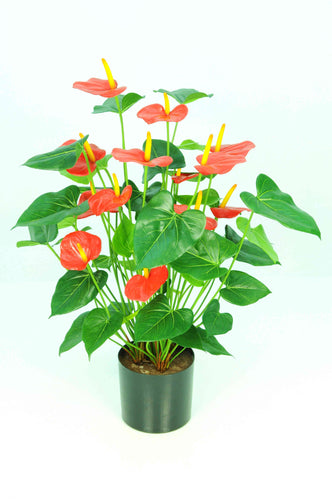 Anthurium Potted Bush-Red