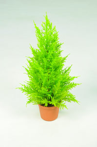Cupressus Potted