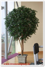 Load image into Gallery viewer, Ficus Giant