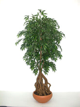 Load image into Gallery viewer, French Ficus Root