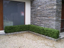 Load image into Gallery viewer, Boxwood Hedge Medium