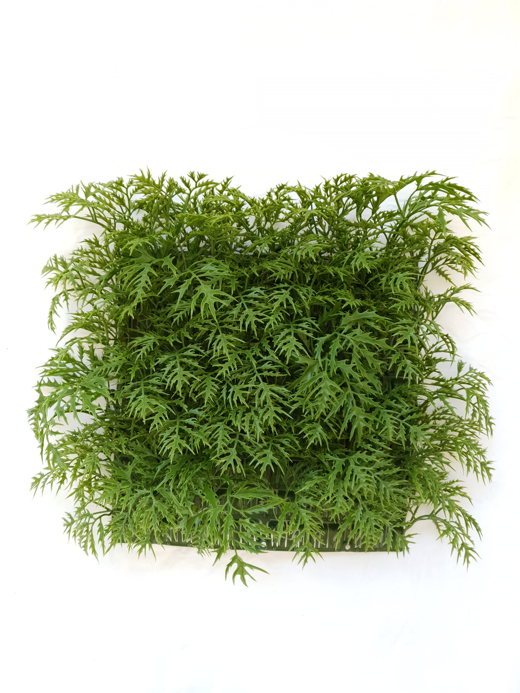 Green Ming Aralia Tile