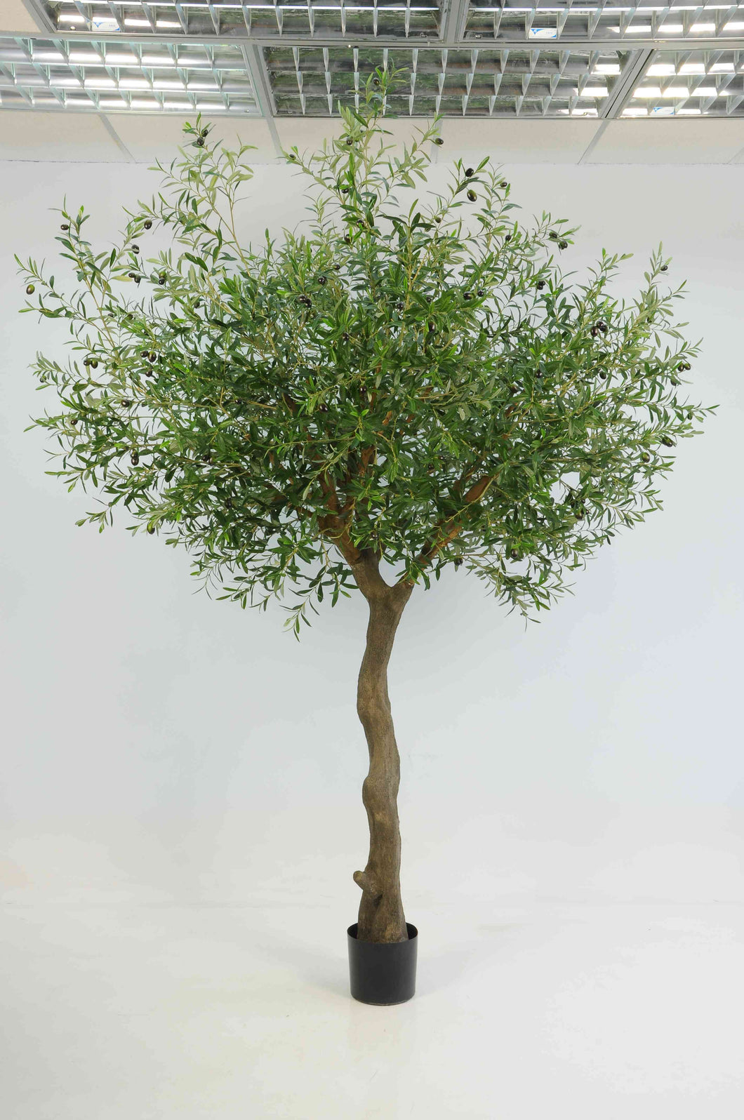 Olive Natural Tree