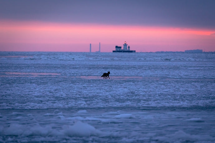 'Eastern Coyote traversing frozen Lake Erie at dawn'