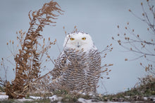 Load image into Gallery viewer, 'Snowy Owl'