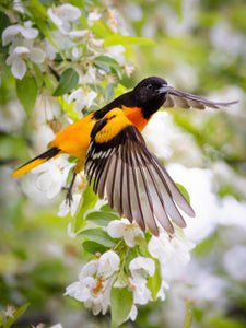 'Baltimore Oriole on Crabapple'