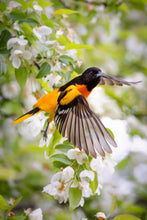 Load image into Gallery viewer, 'Baltimore Oriole on Crabapple'