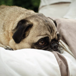 Gus the Pug on the Vista Beige Duvet Cover