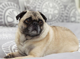 Gus the Pug on the Sunset Grey Duvet Cover