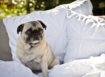 Gus the Pug on the Valencia White Duvet Cover