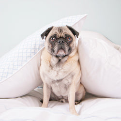 Gus the Pug on the Page Blue Duvet Cover