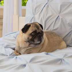 Gus the Pug on the Valencia Light Blue Duvet Cover