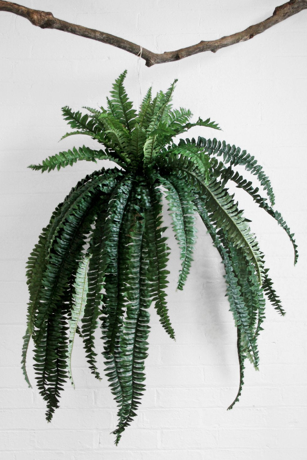 Buy Sanbasics Boston Fern  | Buy Sanbasics Homewares Online