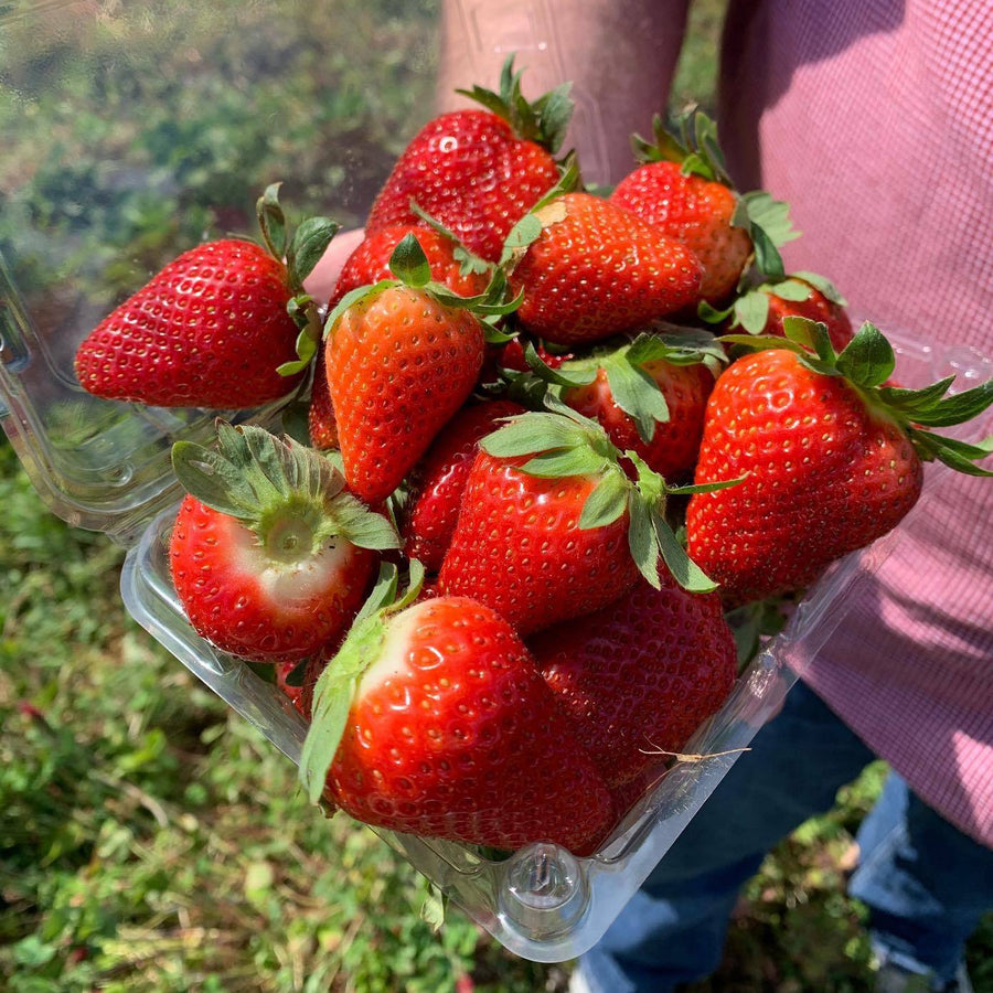 Fresh strawberries from Orchard Pond Farm in Tallahassee, FL.