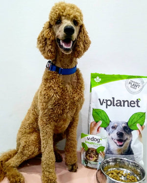 Lui the Poodle Enjoying V-Planet