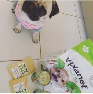Miss Daisy Deep Pug Enjoying her Plant Power Samples, Veganpet Wet Food and V-Planet Kibble