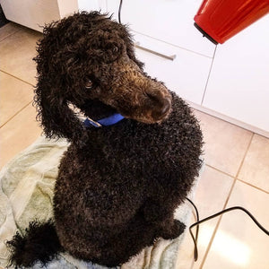 Blow drying Jet the poodle