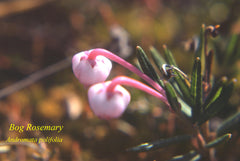 Plants of the Coppermine - Bog Rosemary - Photo by Riverman Dr.David Rowe North-West Expeditions