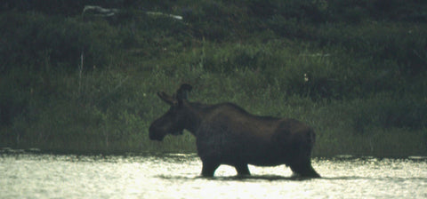 North-West Expeditions Young Bull Moose crossing Nahanni River