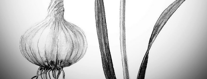 Herbal Lore: Garlic