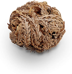 Rose of Jericho Flower Dried Whole (2 Sizes)