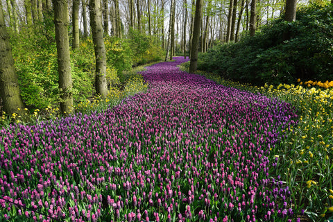 Beautiful path made of red tulips planted by man in natural forest