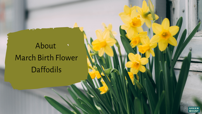About March Birth Flower – Daffodils / Green Mount