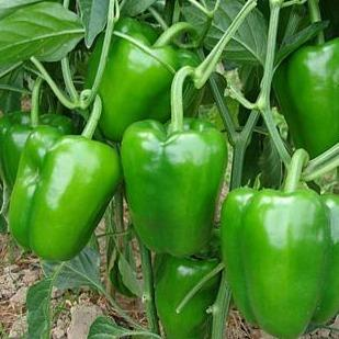 Organic Shimla Mirch (green capsicum) Vegetables NOREA 1kg