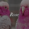 Bright Rose Ugg Boot Colour Swatch Inspiration