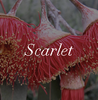 Scarlet Ugg boot Colour Swatch Inspiration