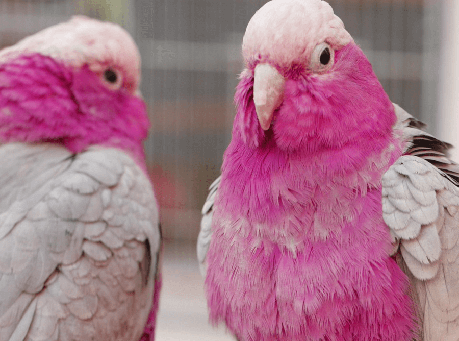 Australian Pink Cockatoo Colour