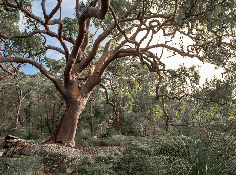 Australian Gum Tree Colour