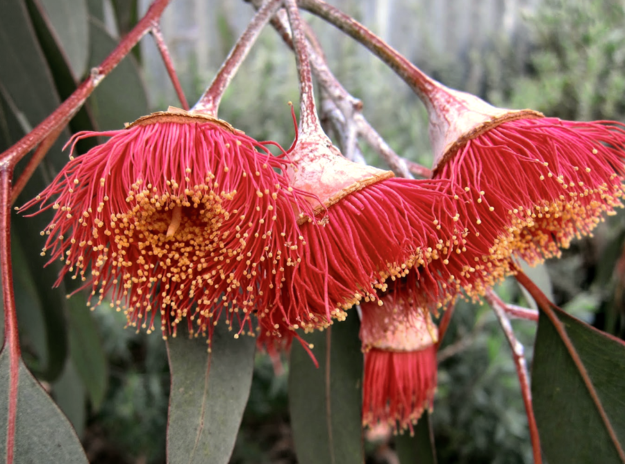 Australian Gum Nut Flower Colour