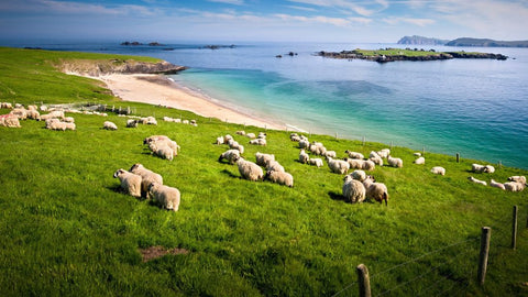 sheep grazing near the edge of a cliff
