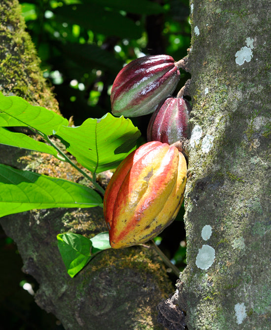 cocoa growing as the beginning of bean to bar process