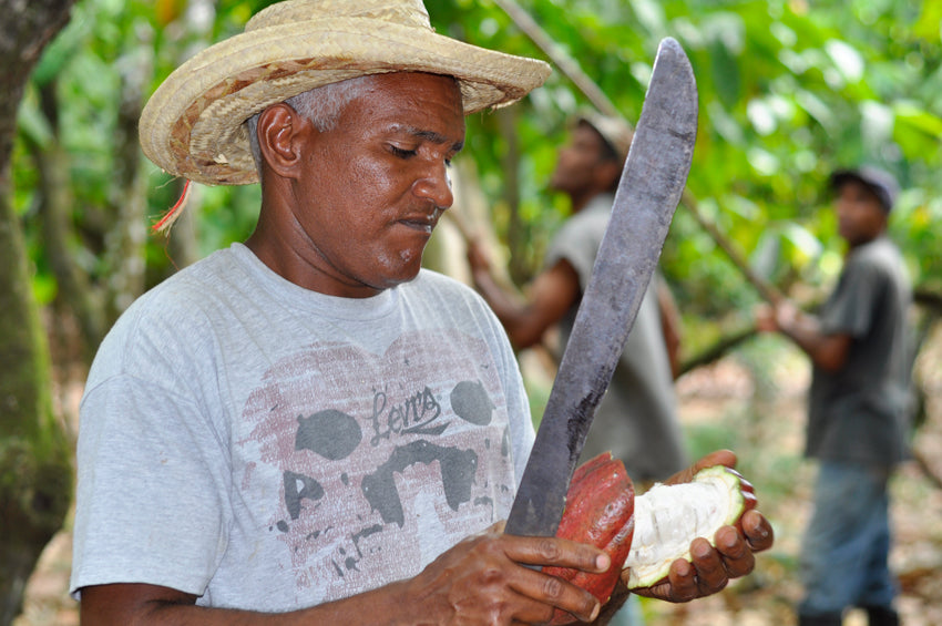 bean to bar process worker cutting cocoa