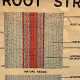 Educational Botanical Root Structure Chart By New York Scientific Supply Co.