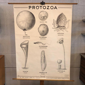 Anatomical Protozoa Organisms Chart By New York Scientific Supply Co.