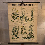 German Educational Field Weeds Botanical Roll-Up Chart