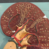 Kidney Model on Plaque