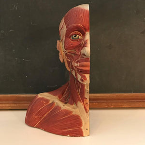 Anatomical Bust Model