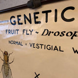 Educational Zoological Fruit Fly Genetics Chart By The Welch Scientific Company